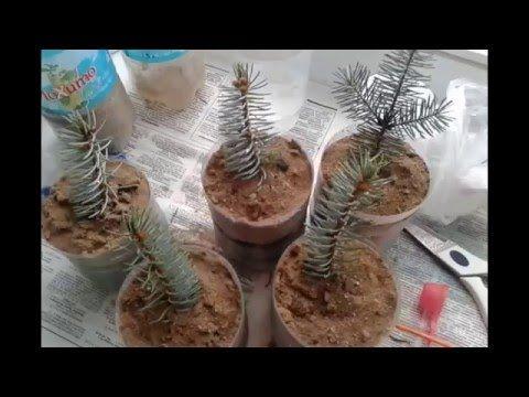 Выращивание голубой ели черенками в домашних условиях - YouTube