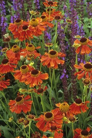 Helenium 'Moerheim Beauty'  I have this in my yard.  The blooms last a month!