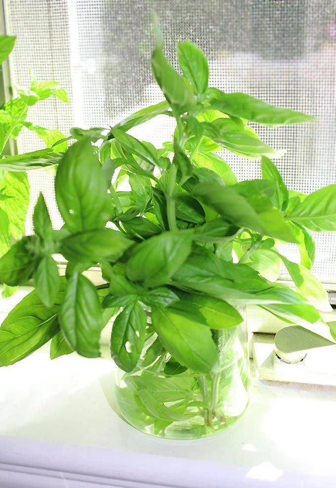 Fresh basil is my all-time favorite green herb for snipping into spring and summer dishes. But how to store basil to keep it fresh for longer than a day or two? Learn easy tips to store basil so it lasts for a week or longer! I love the sweet, peppery taste of garden fresh basil!...Read More »