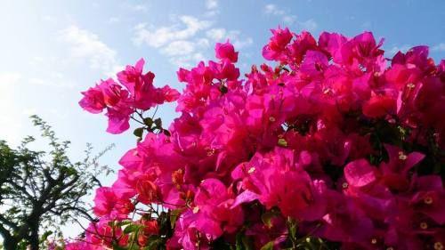 【賞花之旅】九重葛夢幻繽紛,如迷宮花園的絕美花海! - Yahoo奇摩旅遊