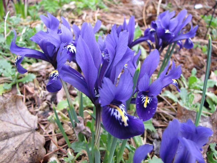 the 25 best iris reticulata ideas on pinterest dwarf. Black Bedroom Furniture Sets. Home Design Ideas