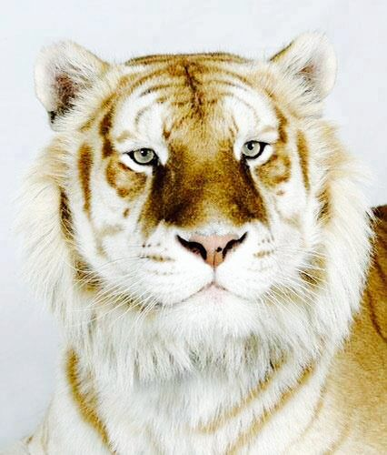 Não é editado, é um tigre dourado, resultado de uma mutação genética