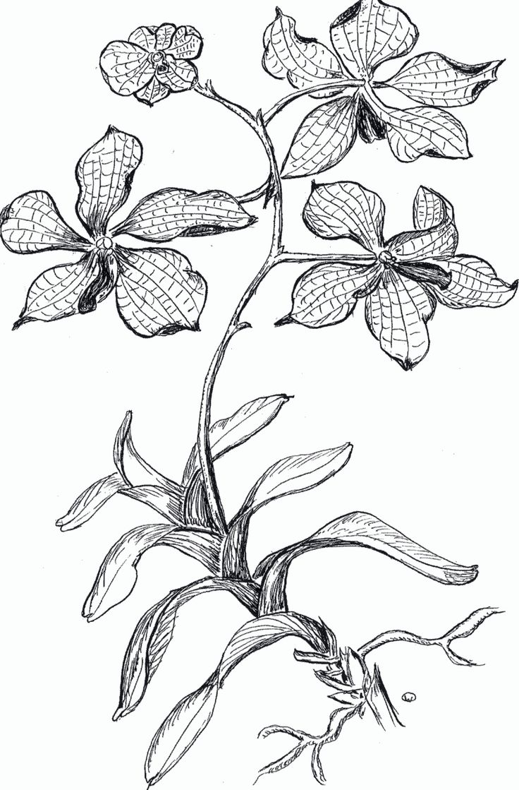 Orchid Coloring Page