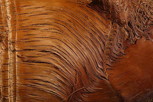 Los nudos ocurren en la madera cuando una rama se incrusta en el tronco del árbol, ya que aumenta de diámetro. Cuando la rama está viva, se crea lo que se conoce como un nudo apretado o nudo intercrecido. La rama incrustada sigue creciendo con el resto del árbol. Los nudos apretados están firmemente unidos al árbol. Ellos no se caen fácilmente cuando el árbol es cortado y usado para producir madera.