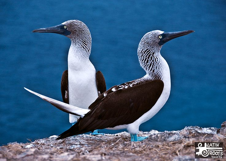 Of resident sea birds, 8 species are endemic to the Galapagos Islands. There are also 7 endemic subspecies that are found only in the Galapagos.   Galapagos Birds List: 94 Birds to Watch for | Latin Roots Travel (Ecuador)