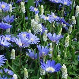 Jardin de Printemps bleu et blanc - 60 bulbes de fleurs achetez en ligne sur internet commander vite