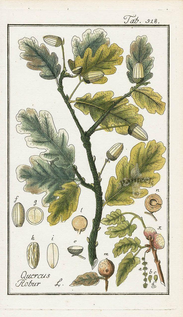 21 best fagaceae images on pinterest