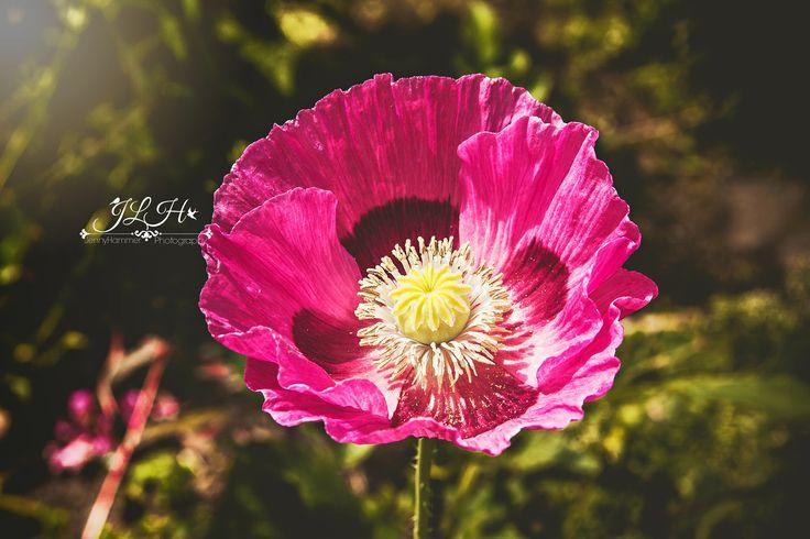 Purple Poppy by EnchantedWindow on Etsy https://www.etsy.com/listing/540184745/purple-poppy