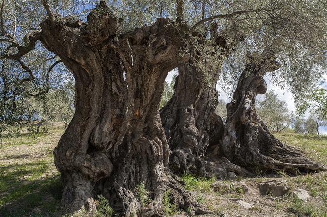 Cuando viajas por el interior de Andalucía encuentras un paisaje que acaba por ser distintivo, que con su presencia teje y engarza a todos los demás: ese paisaje del que hablamos es el olivar.