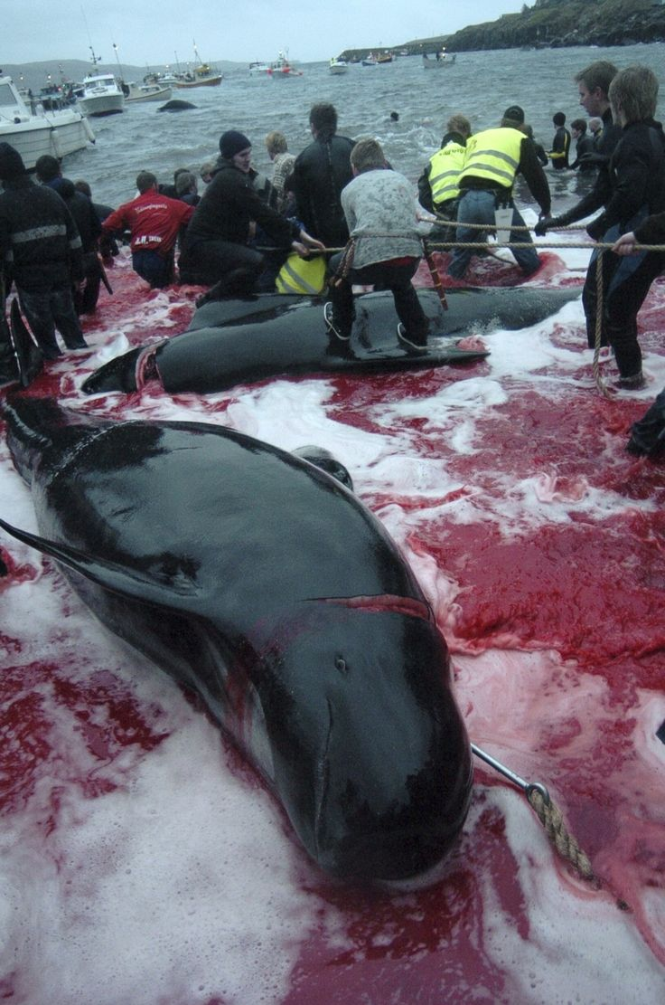 The Grind -  O what deeds we do in the name of tradition - Faroe Islands :(