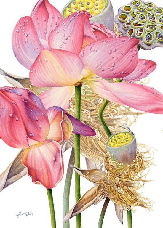 Sacred Lotus Botanical Canvas Print