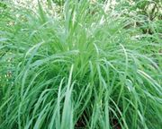 500 Seeds    INDIAN LEMON GRASS SEEDS Cymbopogon flexuosus