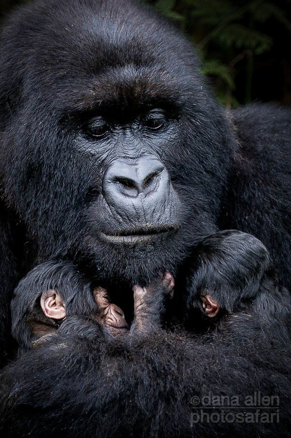 Love them. Mother and twin baby Mountain Gorillas.  Volcanoes National Park, Rwanda.