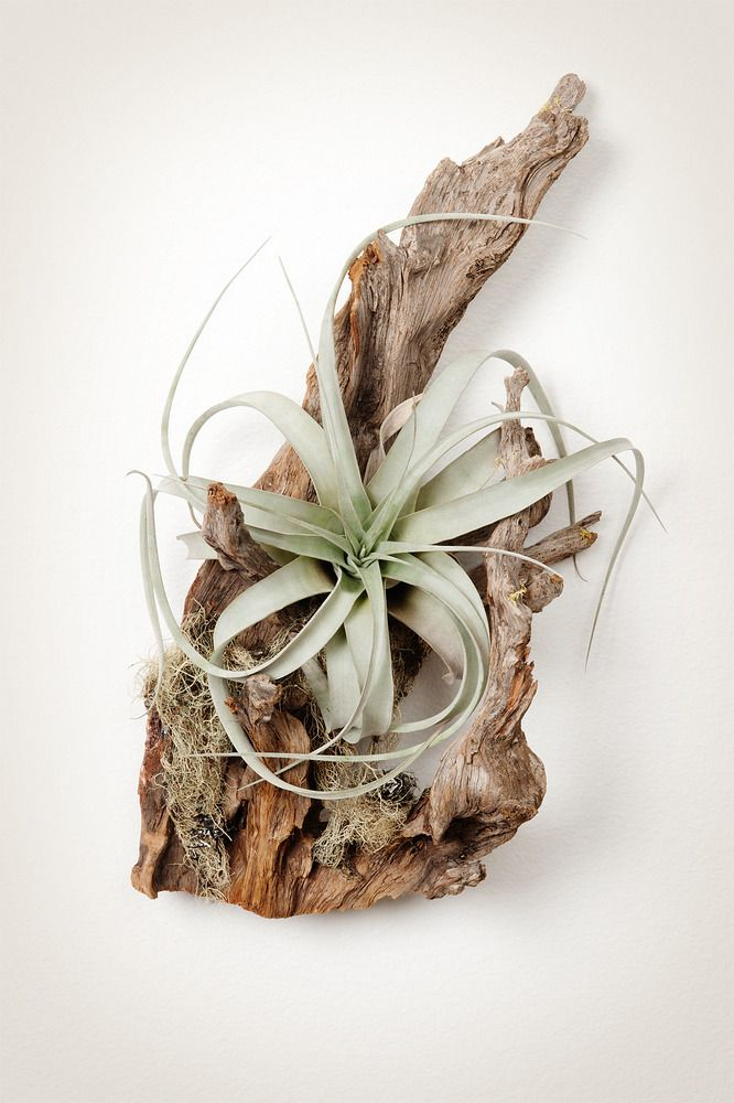 We attach Tillandsia xerographica air plants to sustainably harvested spruce roots for unique living sculptures. http://shop.pistilsnursery.com/products/tillandsia-wood-mount