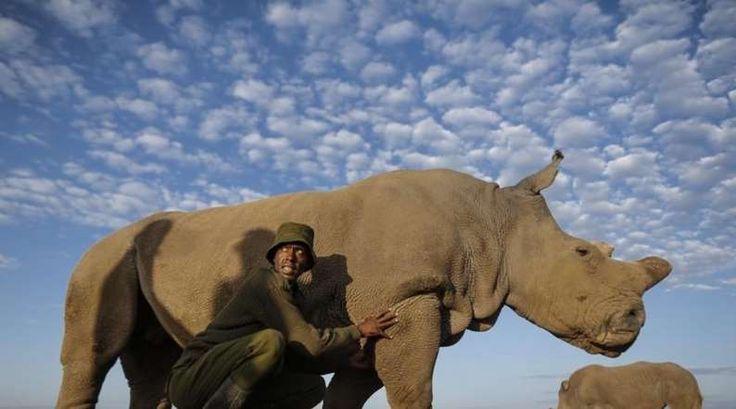 Sudan é o último rinoceronte branco do norte, macho, da sua espécie. Este triste título obriga os gu... - Cofina Media/ Revista Sábado