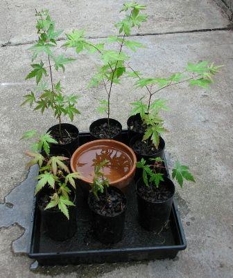 Self Watering Tray for seedlings -  tutorial