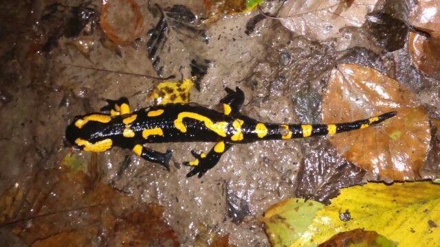 salamander in Börzsöny, Hungary