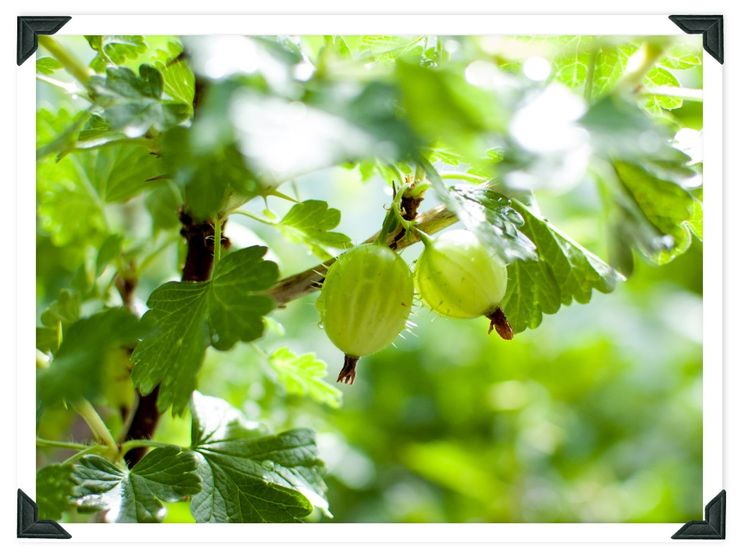 How to Grow and Prune a Gooseberry Bush