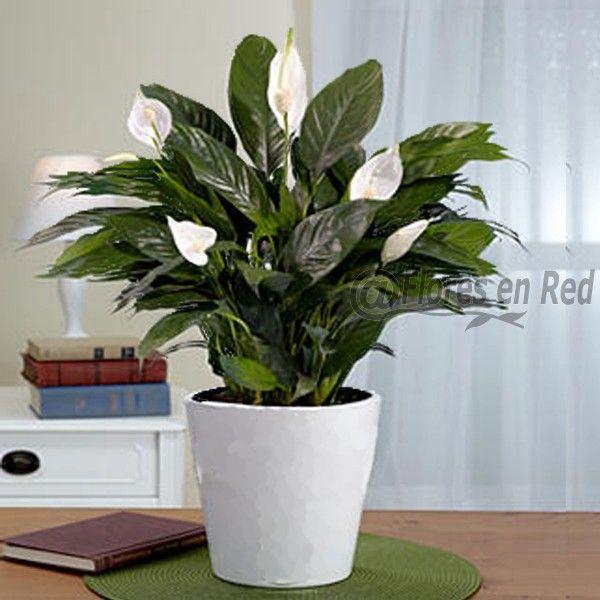 67 best images about plantas de sombra on pinterest - Plantas de sol y sombra ...