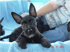 Scottish Terriers For Sale | Scottish Terrier Breeder