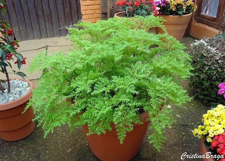 brilhantina-pilea-microphylla-herbacea adequada para locais sombreados ou que recebam apenas o sol da manhã, com alguma úmidade, o que a torna ideal para preencher espaços vazios sob plantas mais altas