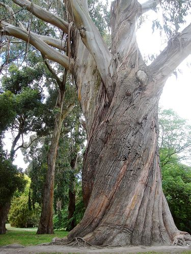 Large Gum tree,  located in Christchurch botanical gardens in New Zealand.