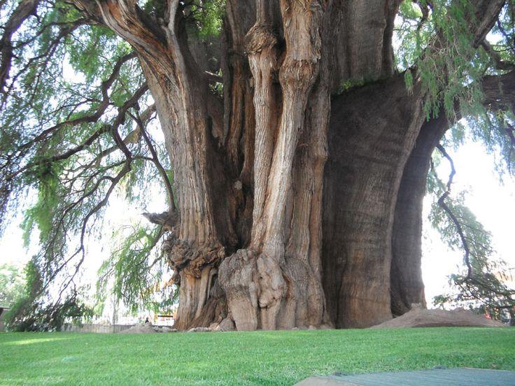 arbol-milenario-majestuoso-y-mas-grande-del-mundo-en-santa-maria-el-tule-oaxaca-mex