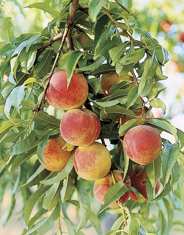 I will be growing apricots - they are better than peaches.