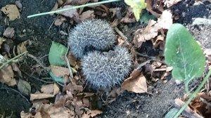 hedgehog babies in yin and yang