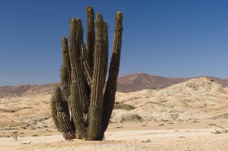 Solitary Echinopsis cactus in the Atacama desert, Pan de Azucar National Park