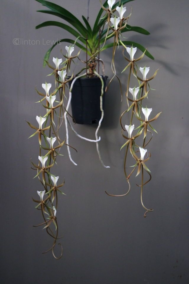 Plectranthus caudatus (Madagascar)