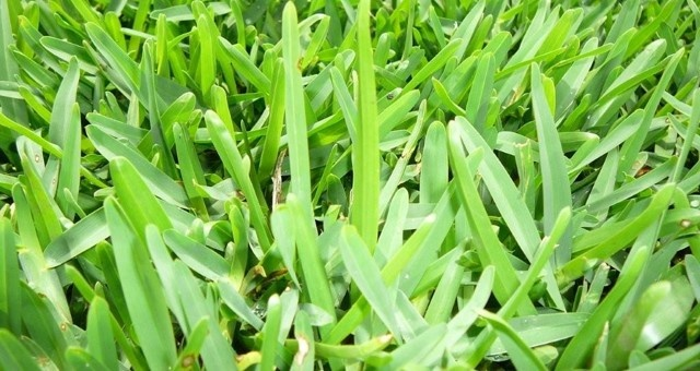 Sir Walter Soft Leaf Buffalo is a creeping lawn that only creeps over the surface so it can be edged easily.  Sir Walter is extremely drought tolerant, grows well in the sun or dry lightly shaded areas, however, it grows better in the summer than the winter. | Lilydale Instant Turf | Love your lawn | Great grass | Lily & Dale | Follow us | Garden Tips & Advice | Contact us | Lawn Solutions Australia