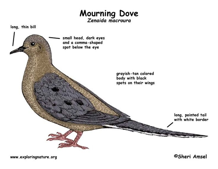 49 best mourning dove images on pinterest aboriginal art mourning dove pronofoot35fo Image collections