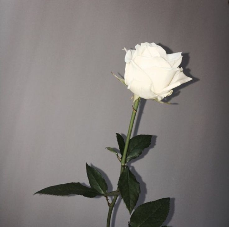 One White Rose White Roses Aesthetic Roses Rose Tumblr