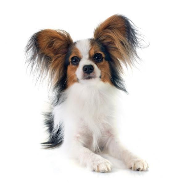 Está procurando por uma raça de cachorro pequena e elegante? Então o Papillon pode ser a raça ideal para você :) #cachorros #cães #animais #papillon #raças