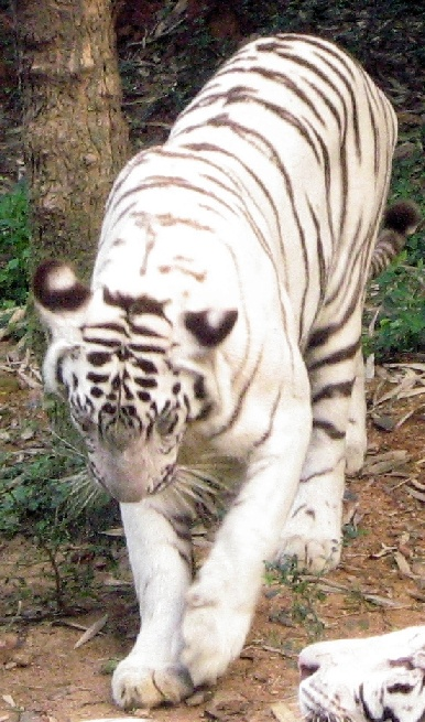 Animals at our Local Zoo: White Tiger