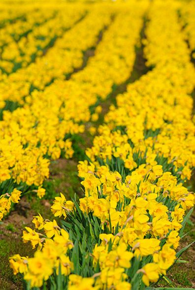 Field of daffodil flowers ~ picture taken in Saanich, British Columbia the daffodil capital of Canada