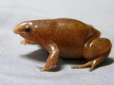 Synapturan De Miranda-ribeiro (Synapturanus mirandaribeiroi) lives under leaf litter and in holes in the ground in humid tropical forests at low elevations. They lay large, terrestrial eggs, which develop into non-feeding tadpoles on the ground (they don't develop in the water like most tadpoles).