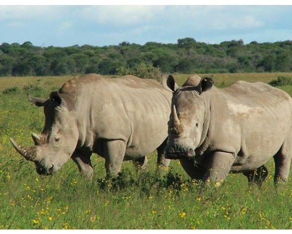 El rinoceronte negro occidental (Diceros bicornis longipes), ha sido declarada oficialmente Extinta - 2013