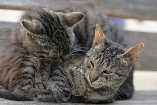 Co to jest nadpłodnienie u kotów?