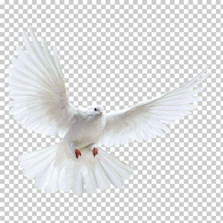 Columbidae Bird Photography A White Dove Wings White Dove Png Clipart Bird Photography Dove Wing White Doves