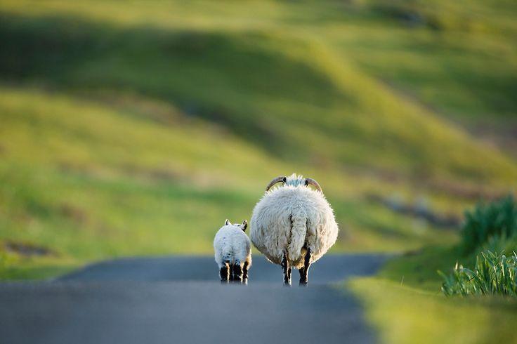 Scottish Blackface Sheep (Ovis aries), ewe and lamb walking side-by-side, Isle of Mull, Scotland