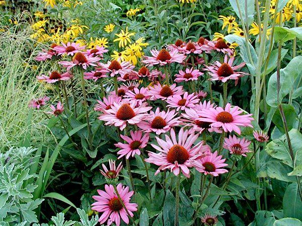roter sonnenhut echinacea purpurea hauenstein rafz pflanzen perennials plants und garden. Black Bedroom Furniture Sets. Home Design Ideas