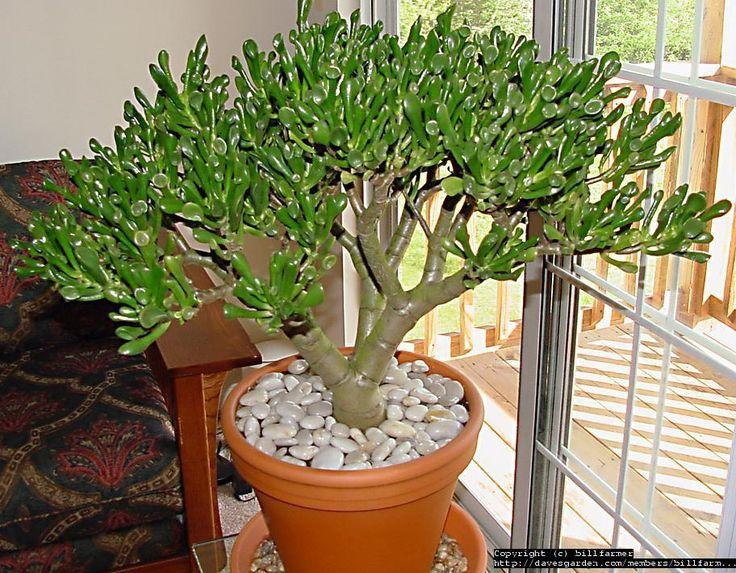 41 best images about crassula ovata jade tree on pinterest. Black Bedroom Furniture Sets. Home Design Ideas