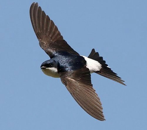 250. Huiszwaluw