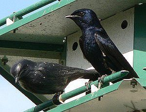 Attracting Purple Martins - How to Attract Purple Martins