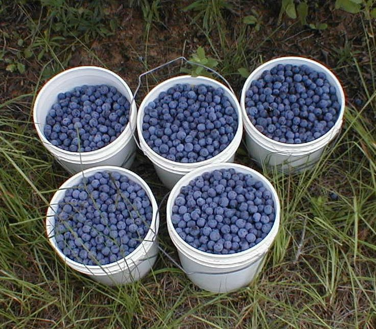 How to feed blueberries; what to feed blueberries. The blueberry fertilizer you use to feed your blueberry bushes shouldn't be just any old fertilizer.