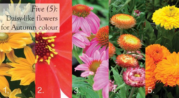 Five (5) daily like flowers for autumn colour  #aboutthegarden
