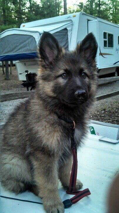 Long haired German Shepard