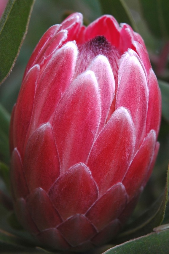 The 690 best flowers a to z images on pinterest types of flowers pink mink protea by carensilvestri mightylinksfo